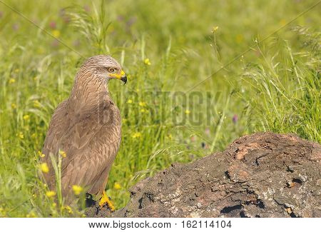 Black Kite Looking Away While Sitting In Grass.