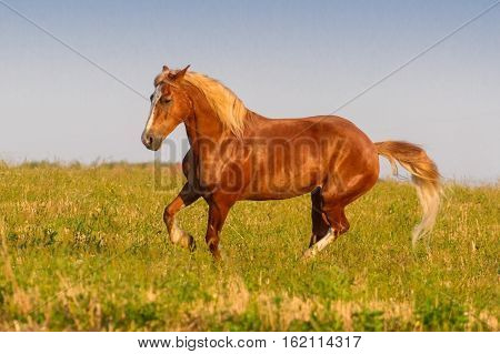Red horse with long mane run on pasture