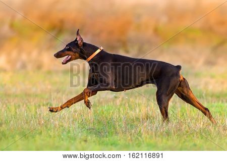 Beautiful doberman run fast in autumn field