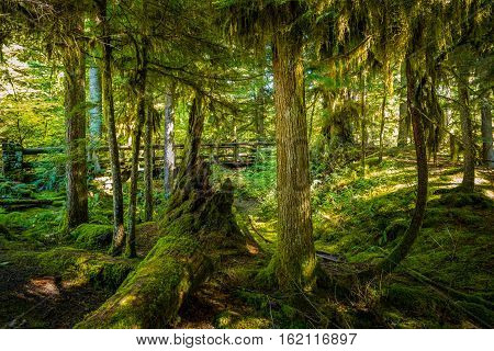 Thick Moss Covered Trees And A Foot Bridge On A Sahalie Falls Trail Oregon