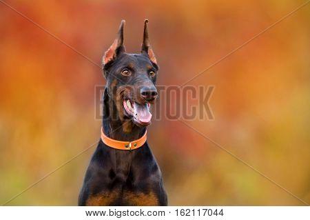 Beautiful doberman dog portrait against fall landscape