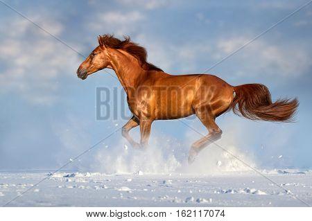 Red horse run in winter snow field