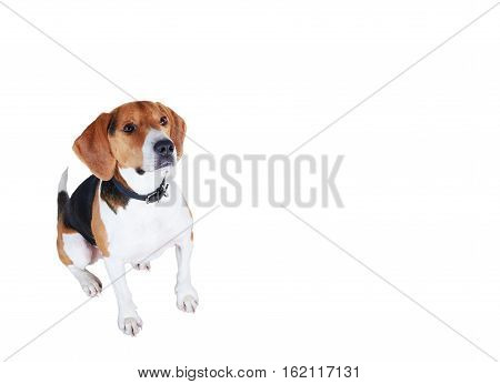 Handsome dog look from down to up. Beagle snapshot isolated on white background. Beautiful hunter.