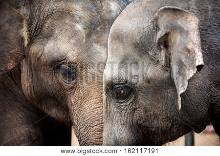 Heads of Asian elephants in Sri Lanka