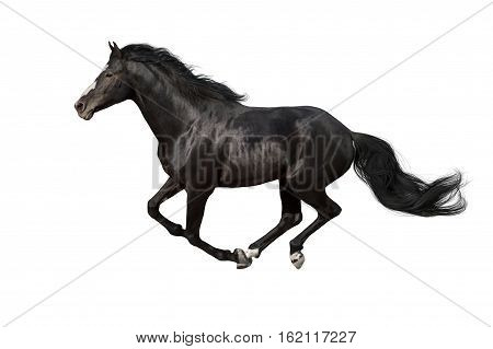 Black horse with long mane run gallop isolated on white background