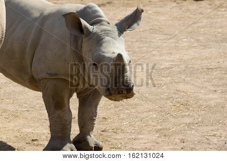 Adorable baby rhino watching in the camera close up