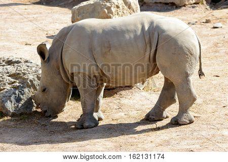Beautiful baby rhino grazing in the sun on a hot summer day