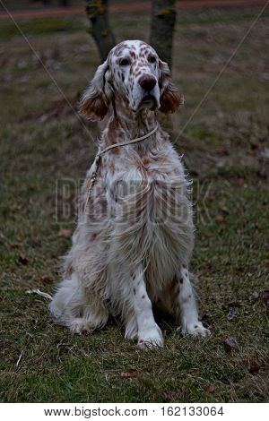 Pure breed white spotty big dog of hunting breed sitting in the city park in vintage style