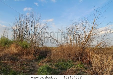 Spring bare shrub on blue sky background. Green young grass and dry yellow grass. Russia.