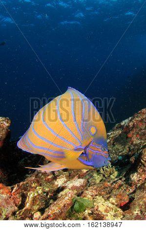 Ring Angelfish tropical fish
