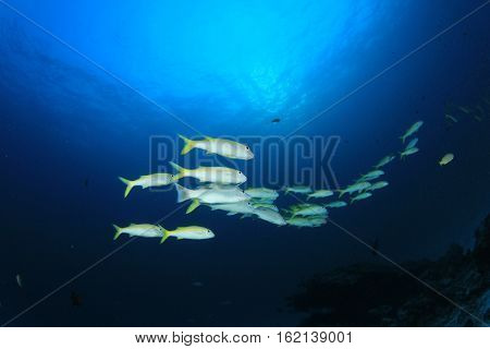 Yellow Fish on coral reef. Underwater scene in blue ocean. Yellowfin Goatfish poster