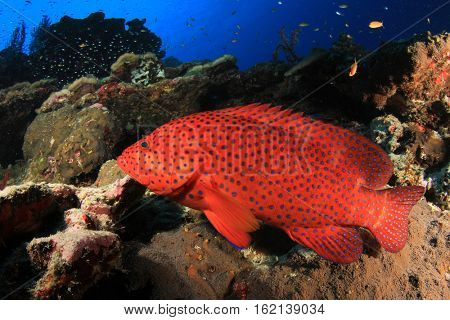 Coral Grouper. Fish on underwater reef