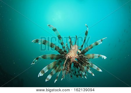 Lionfish hunting snapper fish