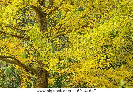 The ginkgo trees scenery in autumn, Guilin, China.