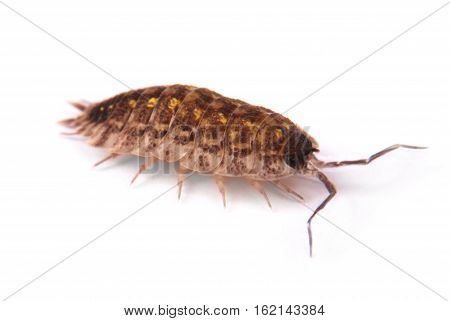 Close up view of a common woodlice (Porcellio scaber) from the side isolated on a white background with soft shadow