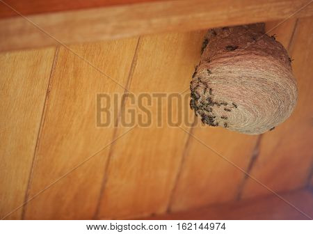 Colony of wasps building nest on wooden house roof
