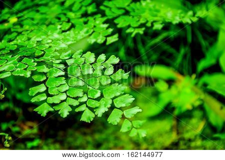Black Rod fern is native to tropical America. A weed or invasive species in nature in tropical Asia. Thailand is more common in the south. Based on the open air in the tropical rain forest and swamp.