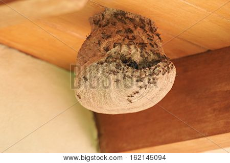 Wasps coming out from nest hole on wood roof house