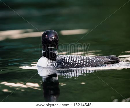 Common Loon (Gavia immer) in breeding plumage swimming on a northwoods lake in Wisconsin.