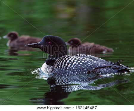 Common Loon (Gavia immer) in breeding plumage with two baby loon chicks in the background on a northwoods lake in Wisconsin.