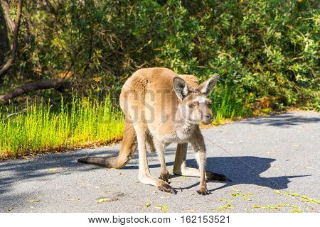 Kangaroo Walpole Australia searching for  food on road.