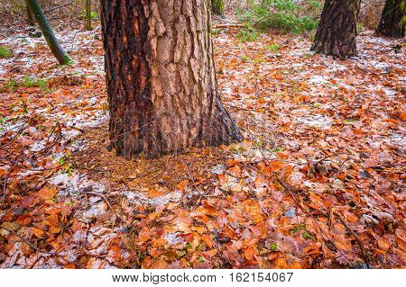 Tree Trunks In Dull And Depressive Winter Forest Landscape