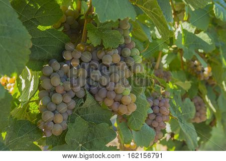 Ripened Gewurztraminer Grapes in Vineyard Okanagan British Columbia Canada near Kelowna