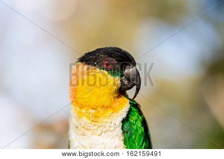 The caiques are species of parrots in the genus Pionites. They are relatively small parrots and stocky, with a short, square tail and very bright colors.