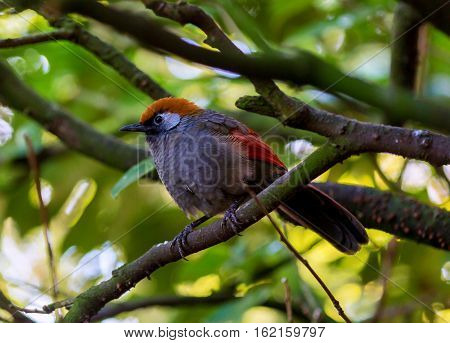 There are four subspecies of the Red-tailed Laughing thrush. They are found in China, Laos, Myanmar, Thailand and Vietnam. Their diet includes seeds, small fruits, and insects.
