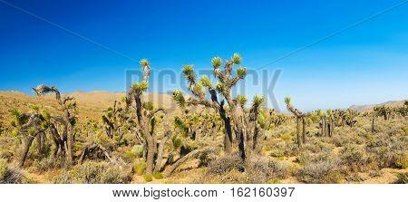 Many Joshua trees (yucca brevifolia) growing in the californian desert, USA. Panoramic photo