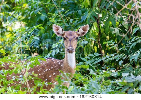 The chital or cheetal, also known as spotted deer or axis deer, is a deer found in the Indian subcontinent. They are a common prey for tigers and here you can see the animal watching for its enemy.
