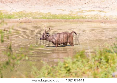 The sambar is a large deer native to the Indian subcontinent, southern China and Southeast Asia.