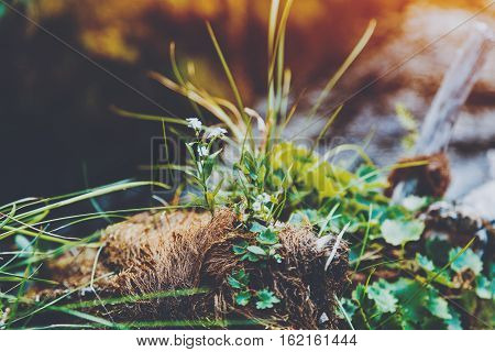 Macro shoot of small flowers and grass growing from threadlike curly roots and moss with blurred mountain river in the background pinery Russia Sayan
