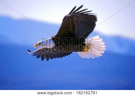 Bald Eagle in flight soaring in midair