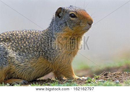 Columbian Ground Squirrel watching, portrait close up