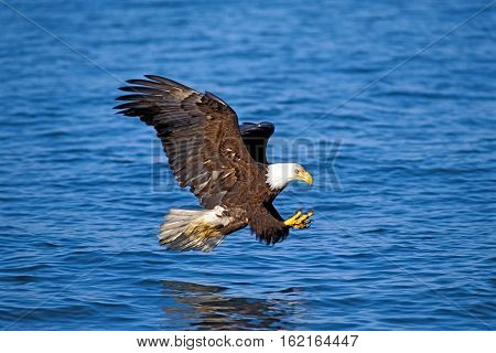 Bald Eagle flying low over water about to catch a fish
