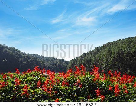 Red Salvia (Salvia splendens) flower at Pang Oung Lake in Mae Hong Son Northern of Thailand