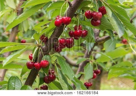 cherry tree branch with ripe red cherries
