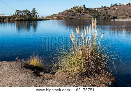 Common reed (Phragmites australis) at Lake Murray reservoir in San Diego, California, with fishing pier in background.