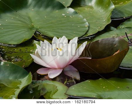 European White Waterlily Water Rose or Nenuphar Nymphaea alba flower close-up selective focus shallow DOF