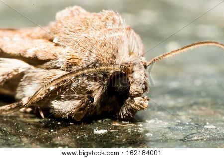 Night Insect Brown Moth