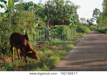Standing Cow Grazing The Grass Beside The Road