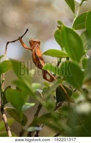 Perinet chameleon (Calumma gastrotaenia) is a species of chameleon in its natural habitat. Andasibe - Analamazaotra National Park Madagascar wildlife poster