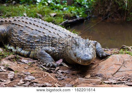 Madagascar Crocodile, Crocodylus Niloticus