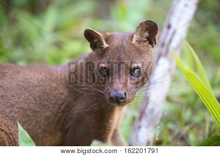 Fossa (Cryptoprocta ferox) cat-like carnivorous mammal endemic to Madagascar Fossa is biggest predator for lemurs. Andasibe Vakona Private Reserve. Madagascar wildlife and wilderness. poster