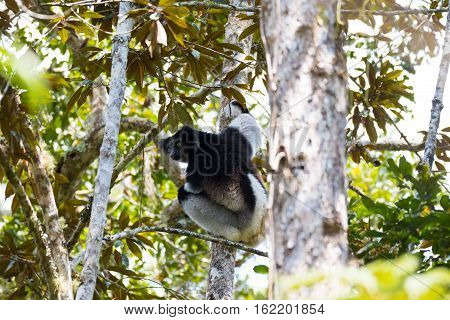 Black And White Lemur Indri