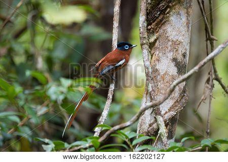 Madagascar Paradise-flycatcher, Terpsiphone Mutata