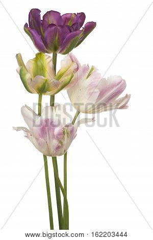 Tulip Flower Isolated