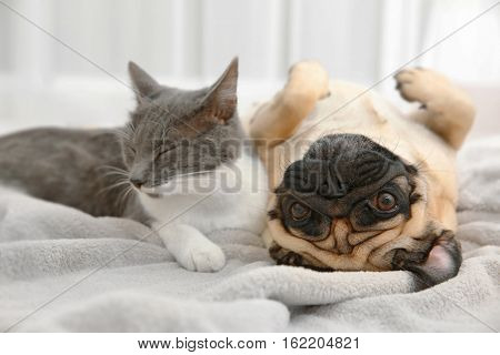 Adorable pug and cute cat lying together on plaid