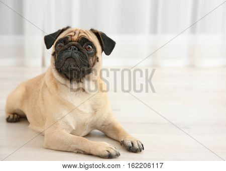 Adorable pug dog lying on floor at home